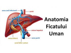 Anatomia ficatului uman
